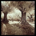 Magical Olive Tree Grove italy cortona center of photography photo workshop tuscany trees